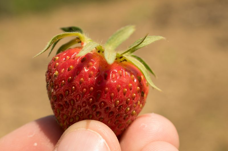 Blurred Background Photography - Strawberry