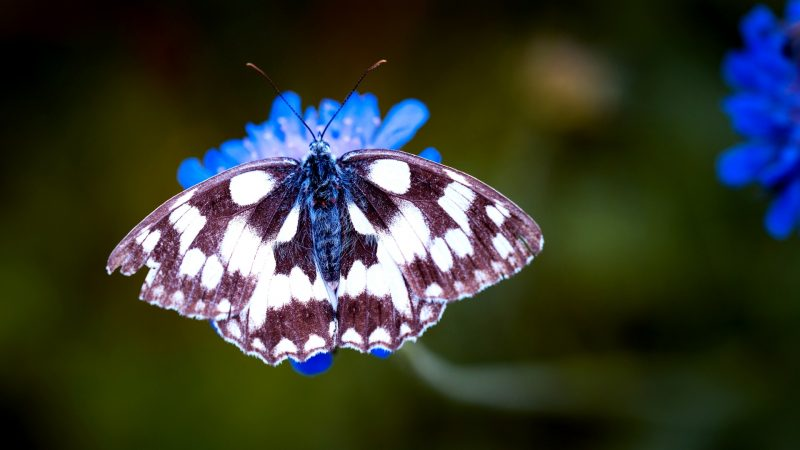 Telephoto Lens - the Go to Lens for Butterflies